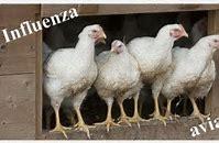 Mesures de biosécurité contre la grippe aviaire
